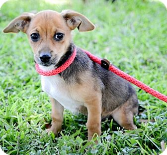 Jack Russell Terrier Mix Puppy for adoption in Houston, Texas - Ike, Mike, Spike & Lina
