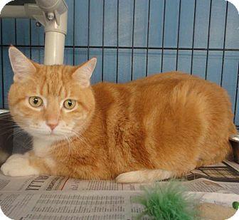 Domestic Shorthair Cat for adoption in Eighty Four, Pennsylvania - Rusty