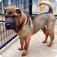 Adopt A Pet :: Boudreaux - Houston, TX