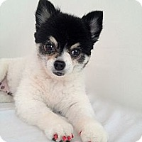 Adopt A Pet :: Violet - Toluca Lake, CA