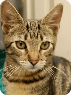 Domestic Shorthair Kitten for adoption in Hillside, Illinois - Griffin