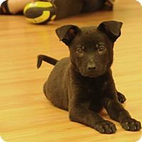 Adopt A Pet :: Shadow - Philadelphia, PA