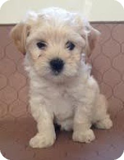 Cockapoo/Terrier (Unknown Type, Small) Mix Puppy for adoption in Encino, California - Brie - Poodilini pup