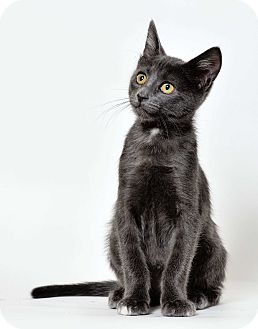 Domestic Shorthair Cat for adoption in El Dorado Hills, California - Mouse