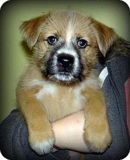 Akita Mix Puppy for adoption in union, Missouri - Tonka