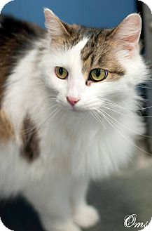 Domestic Longhair Cat for adoption in Manahawkin, New Jersey - Oms