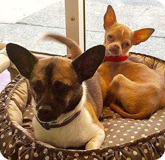 Chihuahua Mix Dog for adoption in Philadelphia, Pennsylvania - Coco