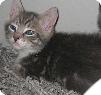 Domestic Shorthair Kitten for adoption in Randolph, New Jersey - Paul & Peter-adopt together