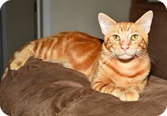 Domestic Shorthair Cat for adoption in Santa Monica, California - Redford