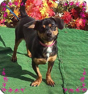 Dachshund/Miniature Pinscher Mix Dog for adoption in Marietta, Georgia - HATTIE