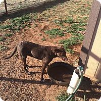 Adopt A Pet :: Choco - Post, TX