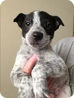 Blue Heeler/Australian Cattle Dog Mix Puppy for adoption in Cave Creek, Arizona - Micha
