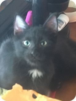 Maine Coon Kitten for adoption in Waggaman, Louisiana - Abu