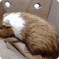 Adopt A Pet :: *Urgent* George - Fullerton, CA
