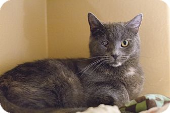 Domestic Shorthair Cat for adoption in Toronto, Ontario - Roxie