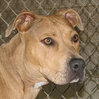 American Pit Bull Terrier Mix Dog for adoption in Ruidoso, New Mexico - Sandy
