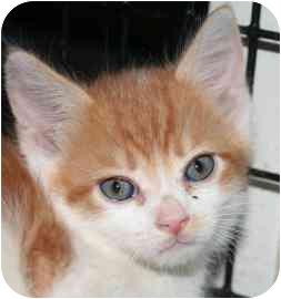 Domestic Shorthair Kitten for adoption in tucson, Arizona - Mink