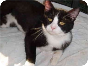Domestic Shorthair Cat for adoption in Hamburg, New York - Balboa
