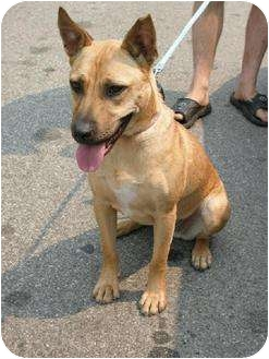 Shepherd (Unknown Type)/American Pit Bull Terrier Mix Dog for adoption in Rancho Palos Verdes, California - Rosa