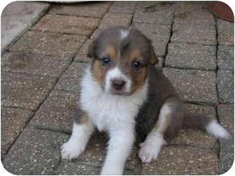 Australian Shepherd/Border Collie Mix Puppy for adoption in New Braunfels, Texas - Lazy J.