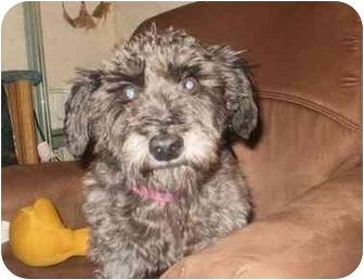 Schnauzer (Standard)/Bichon Frise Mix Dog for adoption in North Benton, Ohio - Blackie