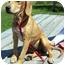 Photo 1 - Hound (Unknown Type)/Labrador Retriever Mix Puppy for adoption in Portsmouth, Rhode Island - Jolie