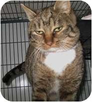Domestic Shorthair Cat for adoption in Shelton, Washington - Smooches