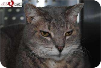 Domestic Shorthair Cat for adoption in Yuba City, California - Large Marge (Unkn Age, URGENT)