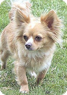 Chihuahua Mix Dog for adoption in Santa Barbara, California - Higgins