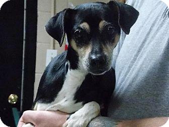 Chihuahua Mix Dog for adoption in Dallas, North Carolina - MAGGIE
