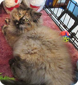 Domestic Longhair Kitten for adoption in Acme, Pennsylvania - Calypso