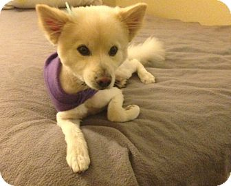 American Eskimo Dog Dog for adoption in Oceanside, California - Admiral