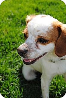 Chihuahua/Cocker Spaniel Mix Dog for adoption in Plainfield, Illinois - Ernest
