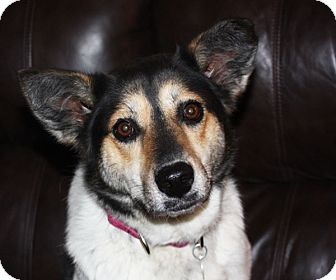 Cattle Dog/Beagle Mix Dog for adoption in kennebunkport, Maine - Macy - in Maine