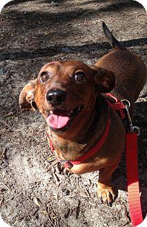 Dachshund Dog for adoption in New York, New York - Hansel