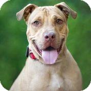 Labrador Retriever/Shar Pei Mix Dog for adoption in Phoenix, Arizona - FRISBEE