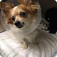 Adopt A Pet :: Pablo - New York, NY