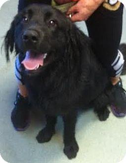 Flat-Coated Retriever/Golden Retriever Mix Dog for adoption in Westminster, California - Cliff