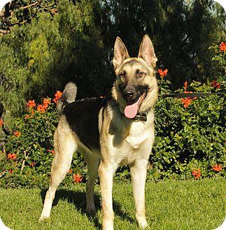 German Shepherd Dog Mix Dog for adoption in Laguna Niguel, California - Chanel