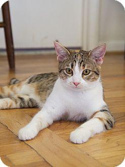 Domestic Shorthair Cat for adoption in Huntsville, Alabama - Casey