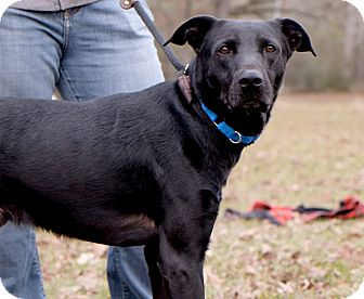 Labrador Retriever Mix Dog for adoption in Portland, Oregon - Coal