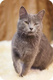 Domestic Shorthair Cat for adoption in Detroit Lakes, Minnesota - Bitty