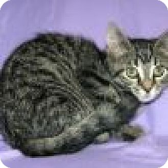 Domestic Shorthair Cat for adoption in Powell, Ohio - Ambra