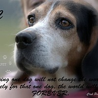 Beagle Dog for adoption in Transfer, Pennsylvania - KC