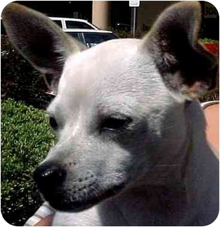 Chihuahua Mix Dog for adoption in Spring Valley, California - SCOOBY