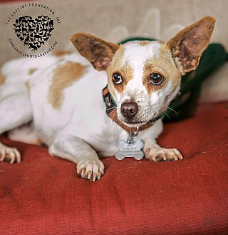 Jack Russell Terrier/Chihuahua Mix Dog for adoption in Inglewood, California - Zipper