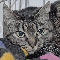 Domestic Shorthair Cat for adoption in Jaffrey, New Hampshire - Tiggy