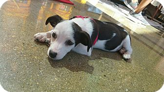 Jack Russell Terrier/Terrier (Unknown Type, Small) Mix Puppy for adoption in LAKEWOOD, California - Pinky