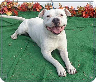Pit Bull Terrier/Labrador Retriever Mix Dog for adoption in Marietta, Georgia - CASPER