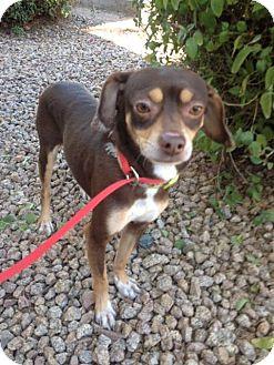 Italian Greyhound/Dachshund Mix Dog for adoption in Phoenix, Arizona - Doc